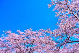 桜と青空の写真素材 [FYI00571880]