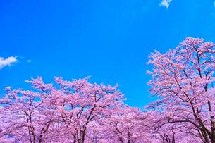 桜と青空の写真素材 [FYI00571881]