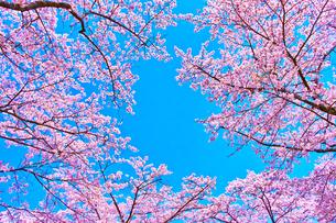 桜と青空の写真素材 [FYI00571882]