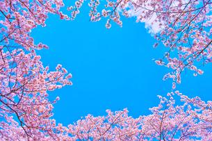 桜と青空の写真素材 [FYI00571883]