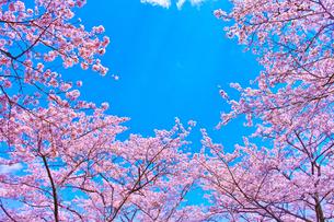 桜と青空の写真素材 [FYI00571884]