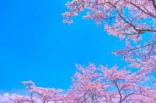桜と青空の写真素材 [FYI00571885]