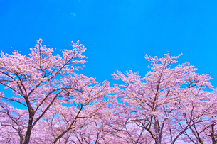 桜と青空の写真素材 [FYI00571886]