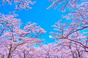 桜と青空の写真素材 [FYI00571887]