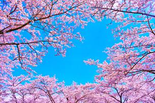 桜と青空の写真素材 [FYI00571888]