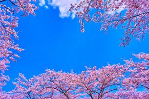 桜と青空の写真素材 [FYI00571889]