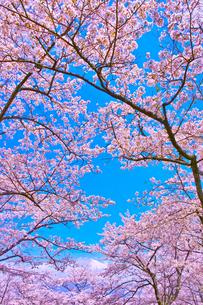 桜と青空の写真素材 [FYI00571898]