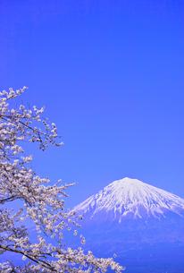 富士宮市から見た満開の桜と富士山の写真素材 [FYI00571916]