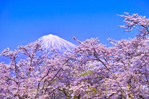 富士宮市から見た満開の桜と富士山の写真素材 [FYI00571917]