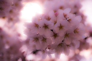 桜(アップ)の写真素材 [FYI00572049]