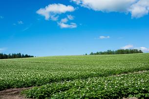 ジャガイモ畑と青空の写真素材 [FYI00574097]