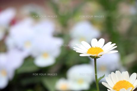 白い花の写真素材 [FYI00576250]