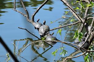 緑地公園の池で器用に枝に這い上がり甲羅干しをする亀達の写真素材 [FYI00576316]