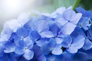 紫陽花の写真素材 [FYI00580620]