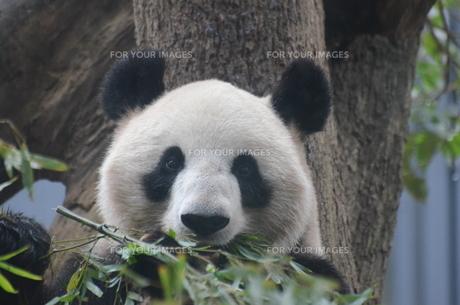 ジャイアントパンダの写真素材 [FYI00582869]