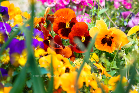 パンジーの花畑の写真素材 [FYI00582971]