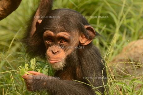 チンパンジーの写真素材 [FYI00582992]