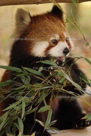 レッサーパンダの写真素材 [FYI00585222]