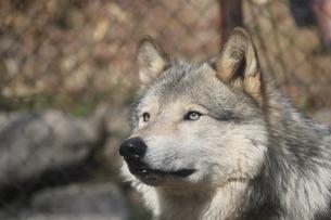 シンリンオオカミの写真素材 [FYI00587238]