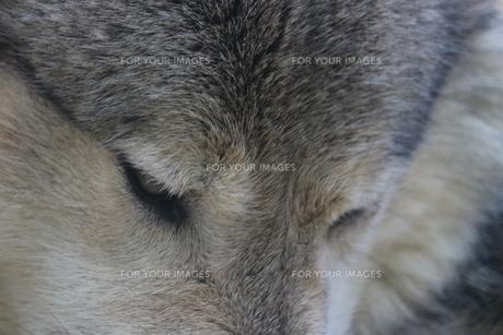 シンリンオオカミの写真素材 [FYI00587240]