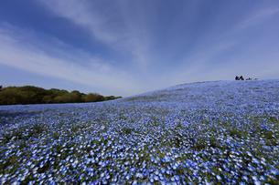 ネモフィラの丘の写真素材 [FYI00589326]