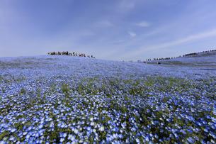 ネモフィラの丘の写真素材 [FYI00589329]