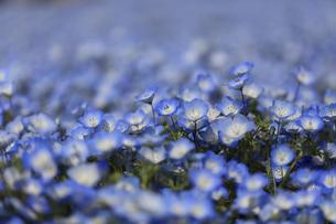 ネモフィラの花の写真素材 [FYI00589332]