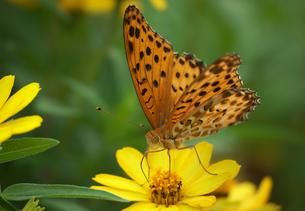 ツマグロヒョウモン左前向き黄色い花の写真素材 [FYI00589482]