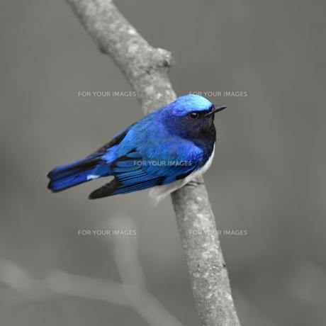 青い鳥の写真素材 [FYI00591576]