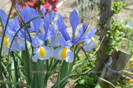 高槻深沢の遊歩道に咲くブルーのアヤメの写真素材 [FYI00591621]