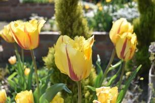 黄色のフリンジが鮮やかなクリスタルスターの写真素材 [FYI00591675]