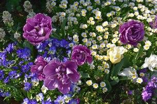 紫のチューリップ八重咲きのネグリタダブルの写真素材 [FYI00591676]