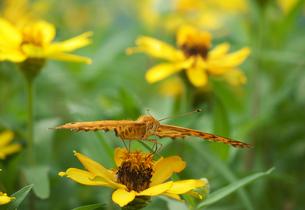 ツマグロヒョウモン右前向き黄色い花の写真素材 [FYI00593757]