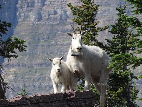 こちらを覗く野生動物の親子_マウンテンゴートの写真素材 [FYI00593917]