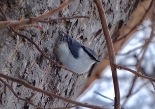 冬の林のゴジュウカラ_変わった姿勢の小鳥の写真素材 [FYI00593918]