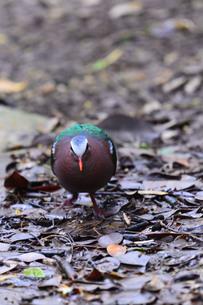 宮古島/野鳥の写真素材 [FYI00596005]