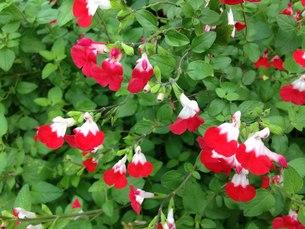 愛嬌のある小さい白と赤のサルビアホットリップスの写真素材 [FYI00596169]