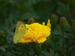 モンキチョウ右後ろ向き黄色い花の写真素材 [FYI00598272]