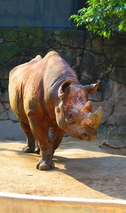 上野動物園のサイの写真素材 [FYI00598280]