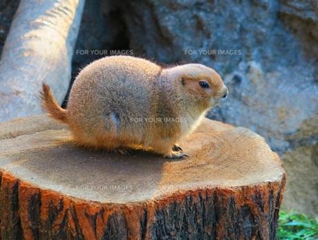 上野動物園のプレーリードッグの写真素材 [FYI00598283]