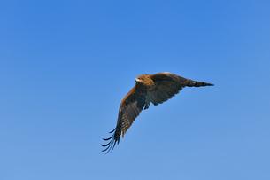 トンビの飛翔の写真素材 [FYI00598343]
