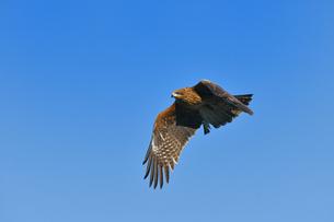トンビの飛翔の写真素材 [FYI00598344]