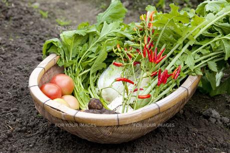 野菜の収穫の写真素材 [FYI00598387]
