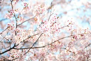 桜の写真素材 [FYI00598410]