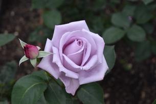中之島バラ園上品なイメージの紫ブルームーンの写真素材 [FYI00602658]