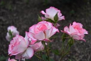 白地にピンクの可憐な薔薇ニコールの写真素材 [FYI00602659]