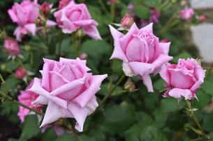 フランスのピンク薔薇マダムピエールユーレの写真素材 [FYI00602665]