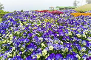 パンジーの花畑の写真素材 [FYI00602668]