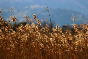 西日を浴びる葦原の写真素材 [FYI00602753]