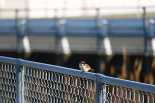 フェンスのスズメの写真素材 [FYI00602755]